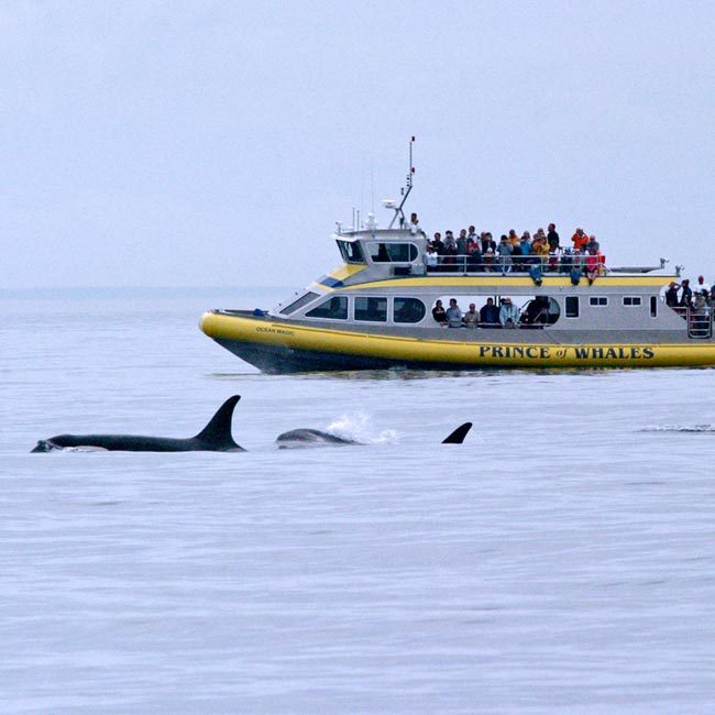 Prince of Whales Whale Watching Tours Victoria BC, Best Whale Watching Tours Canada, Killer Whales Canada, Orca Whale Watching Victoria BC Canada, What to do in Victoria BC Canada, Things to see in Victoria, Things to do in Victoria, Travel Canada, Canada Travel, Tourism Victoria